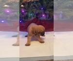 Small #9 Mastiff
