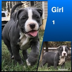 American Bully Puppy for sale in ARMUCHEE, GA, USA