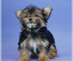 Puppy 12 Yorkshire Terrier