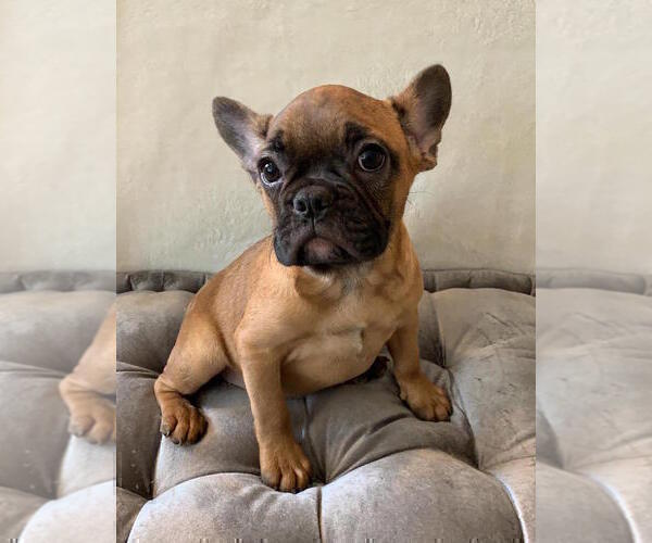 Medium Photo #7 French Bulldog Puppy For Sale in CHARLESTON, SC, USA