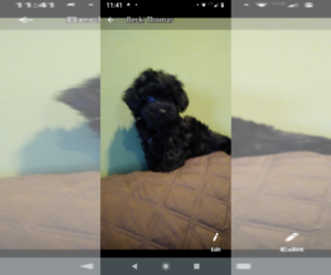 Poodle (Toy) Puppy for sale in MYRTLE BEACH, SC, USA