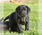Labrador Retriever Puppies Black yellow chocolate
