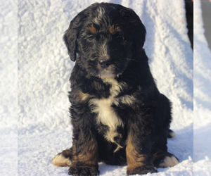 Bernedoodle-Poodle (Standard) Mix Puppy for sale in DENVER, PA, USA