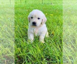 Golden Retriever Puppy for sale in HANCEVILLE, AL, USA