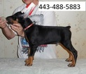 Doberman Pinscher Puppy For Sale in SAN JOSE, CA, USA