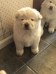 Chow Chow Puppy For Sale in SWANTON, OH, USA