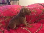 Labrador Retriever Puppy For Sale in LEASBURG, MO