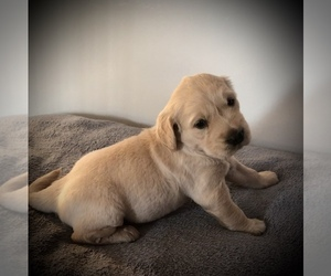 Golden Retriever Puppy for Sale in APPLE CREEK, Ohio USA