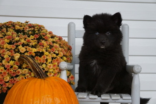 Pomsky Puppy for sale in FREDERICKSBG, OH, USA