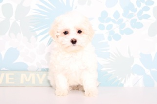 Maltipoo-Poodle (Toy) Mix Puppy for sale in NAPLES, FL, USA