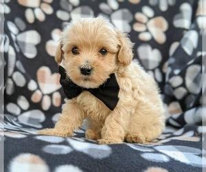 Maltipoo Puppy for sale in LINCOLN UNIV, PA, USA