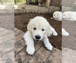 Small #15 English Cream Golden Retriever