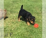 Puppy 3 Airedale Terrier