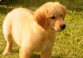 Golden Retriever Puppy For Sale in SEATTLE, WA