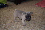 French Bulldog Puppy For Sale in FLORISSANT, MO, USA