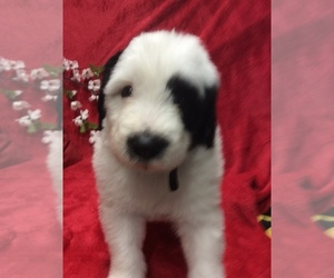Sheepadoodle Puppy for sale in GOODSON, MO, USA