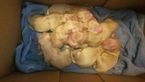Golden Retriever Puppy For Sale in LINDEN, NC
