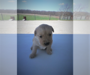 Golden Retriever Puppy for sale in ANN ARBOR, MI, USA