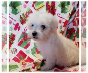 Maltese Puppy for sale in TAYLOR, TX, USA