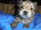 Morkie Puppy For Sale in CEDAR RAPIDS, IA