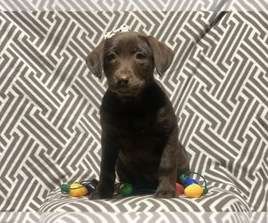 Labrador Retriever Puppy for sale in CEDAR LANE, PA, USA