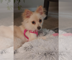 Pomeranian Puppy for sale in KENT, WA, USA