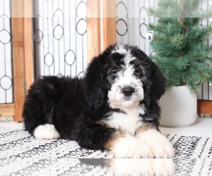 Bernese Mountain Dog Puppy for sale in NAPLES, FL, USA