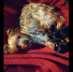Yorkshire Terrier Puppy for sale in SAYRE, PA, USA