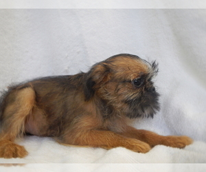 Brussels Griffon Puppy for Sale in CENTRAL POINT, Oregon USA