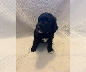 Double Doodle Puppy for Sale in ARLINGTON, Washington USA