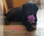 Puppy 0 Bordoodle