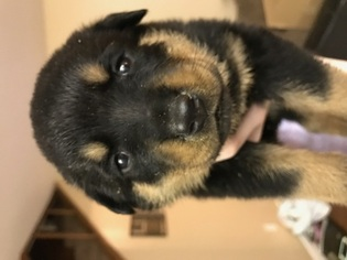 Rottweiler Puppy For Sale in IRVING, TX