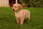 Golden Retriever Puppy For Sale in SUGARCREEK, OH