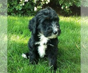 Bernedoodle Puppy for sale in BLAIN, PA, USA
