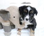 Puppy 5 Australian Shepherd