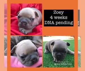 French Bulldog Puppy for Sale in GARDEN VALLEY, California USA