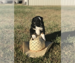 Miniature Australian Shepherd Puppy for sale in WAYNE, OK, USA