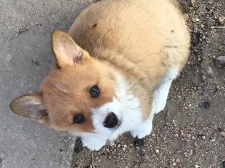 Pembroke Welsh Corgi Puppy For Sale in GREAT BEND, KS, USA