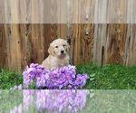 Puppy 6 Golden Retriever