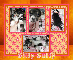 Pembroke Welsh Corgi-Scottish Terrier Mix Puppy for sale in LOGAN, NM, USA