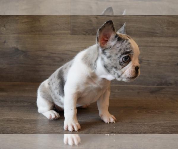 Medium Photo #14 French Bulldog Puppy For Sale in HESPERIA, CA, USA