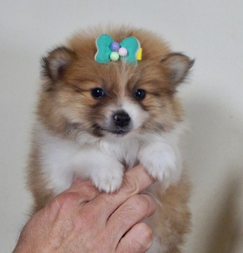 View Ad: Pomeranian Puppy for Sale In Poland