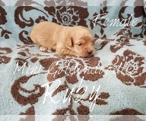 Goldendoodle (Miniature) Puppy for sale in CASSVILLE, MO, USA