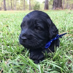 Goldendoodle Puppy For Sale in BLAKELY, GA