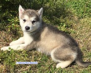 Alaskan Malamute Puppy For Sale in COURTLAND, VA