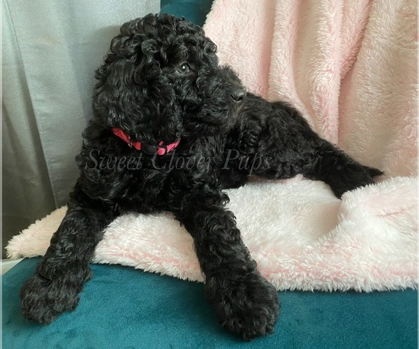 Medium Photo #1 Sheepadoodle Puppy For Sale in DUNCAN, OK, USA