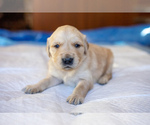 Puppy 4 Golden Retriever