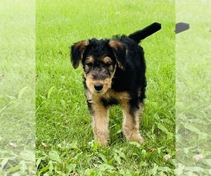 Airedale Terrier Puppy for Sale in MC BAIN, Michigan USA