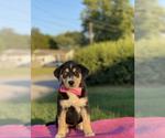 Puppy 4 Goberian