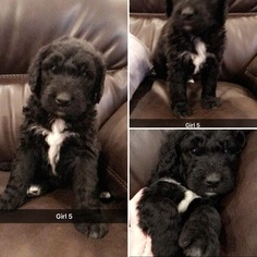 Sheepadoodle Puppy For Sale in RINGGOLD, VA, USA